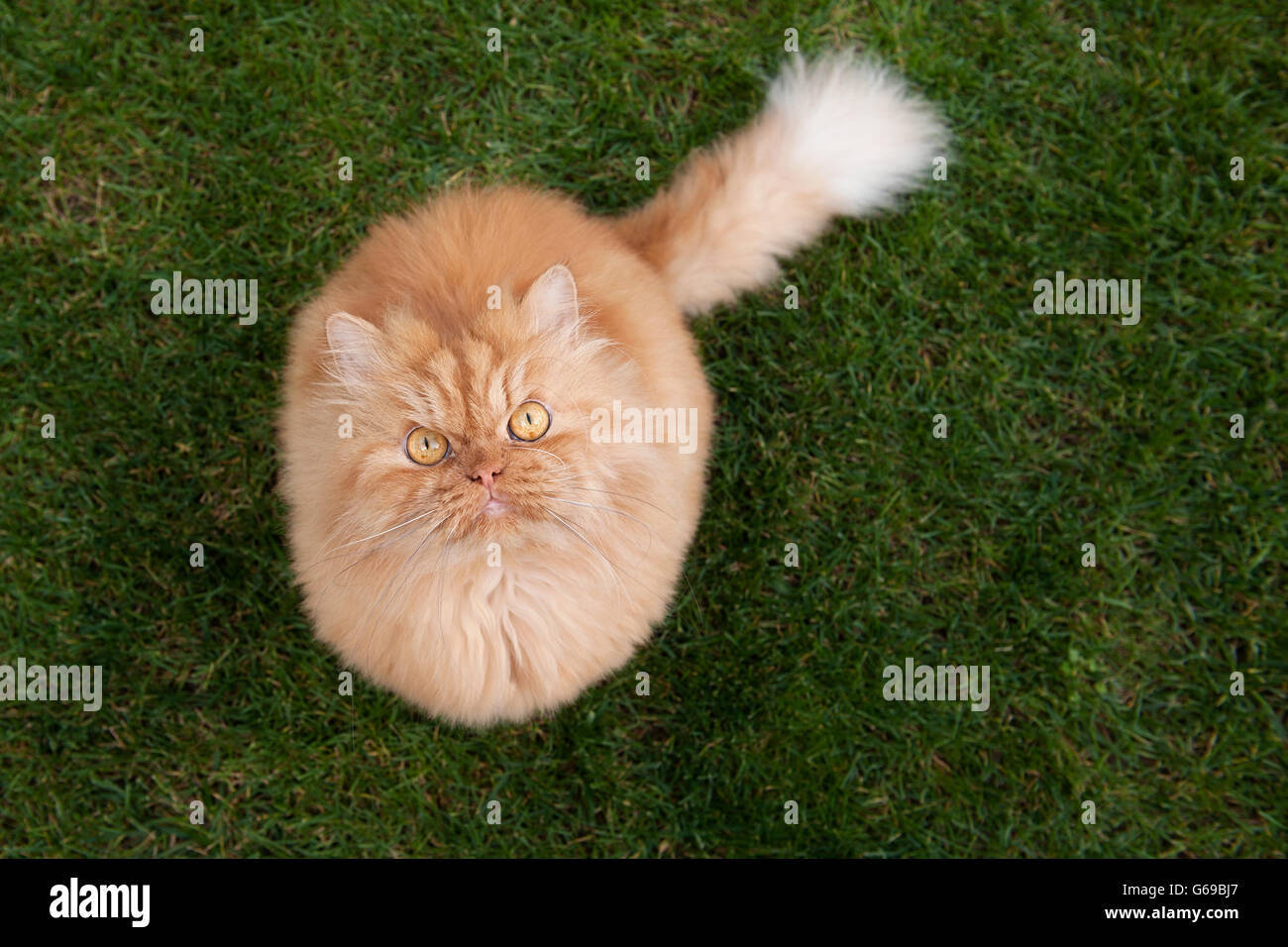 High angle view of Persian cat - Stock Image