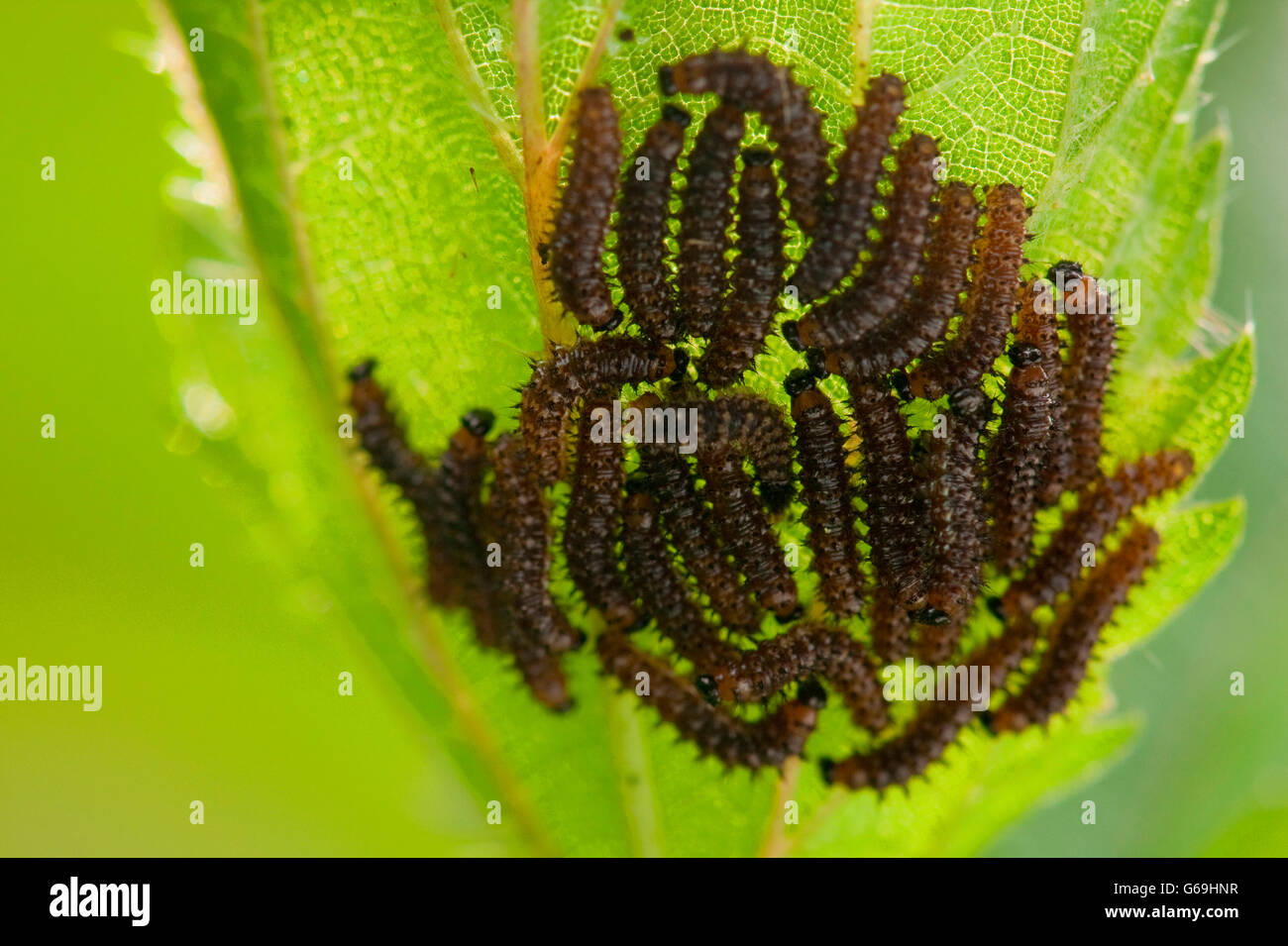 small tortoiseshell, caterpillar,  common nettle, Germany / (Aglais urticae)(Urtica dioica) - Stock Image