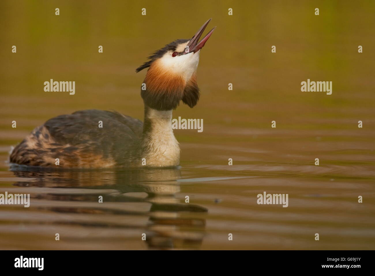 great crested grebe, Texel, Netherlands / (Podiceps cristatus) - Stock Image