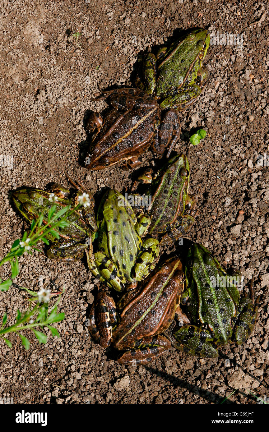 edible frog, Germany / (Pelophylax kl. esculentus) - Stock Image