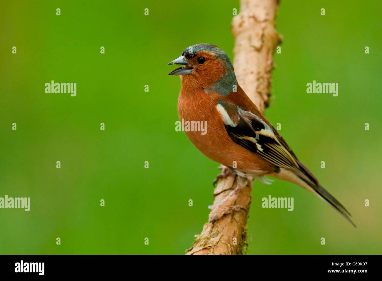 common chaffinch, Germany / (Fringilla coelebs) - Stock Image