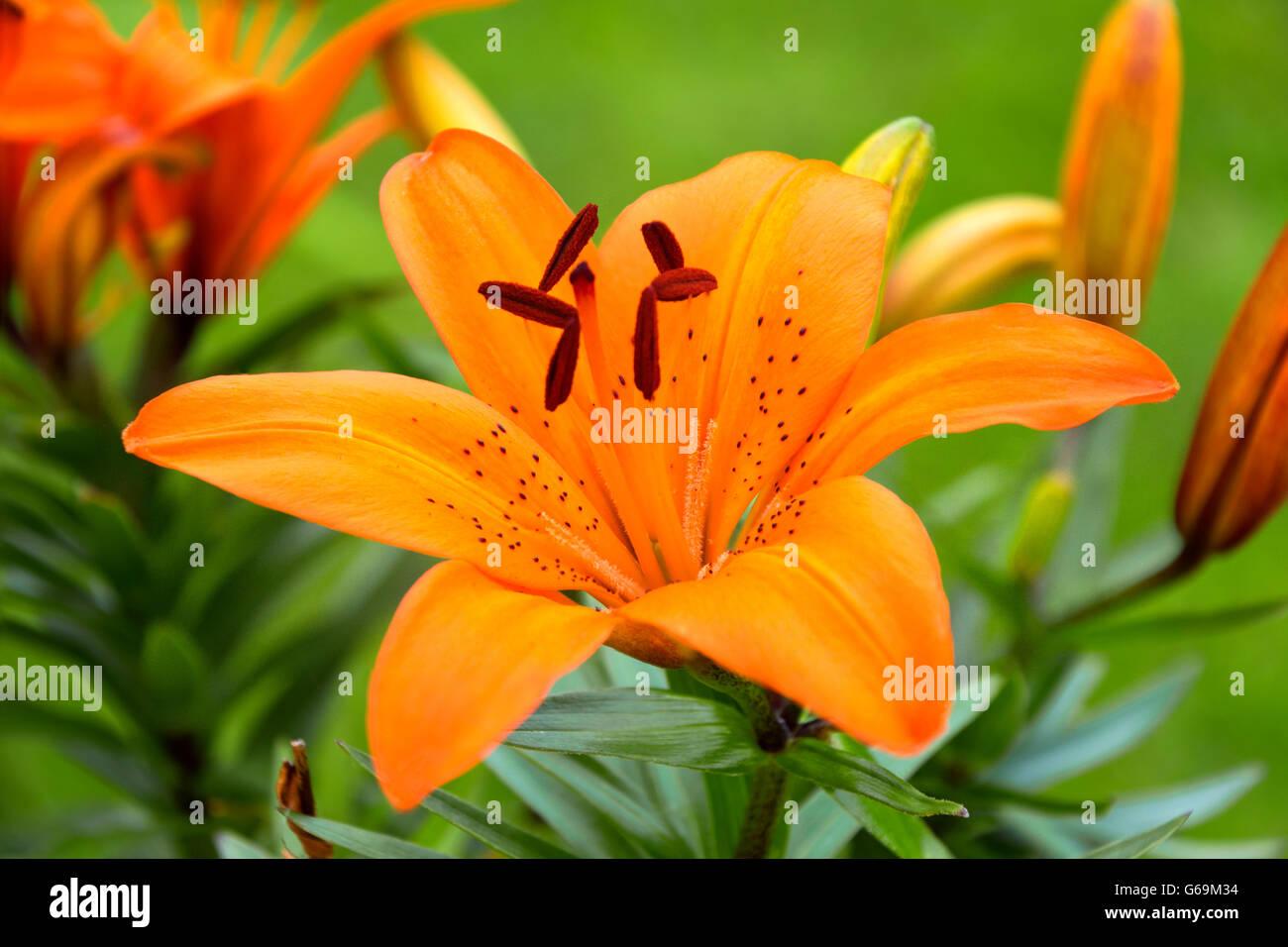 Orange Flower With Black Spots Stock Photos Orange Flower With