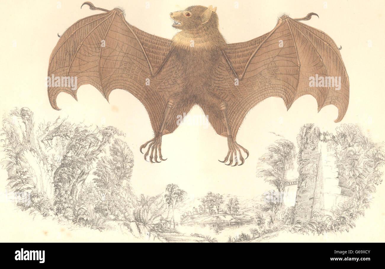 bats tonga rousette goldsmith hand coloured antique print 1870