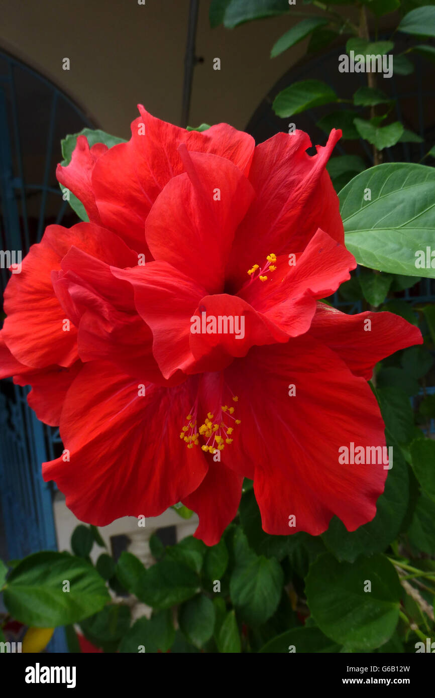 Hibiscus flowers popular across jamaica and many caribbean stock hibiscus flowers popular across jamaica and many caribbean islandses in several varieties red being the most common izmirmasajfo