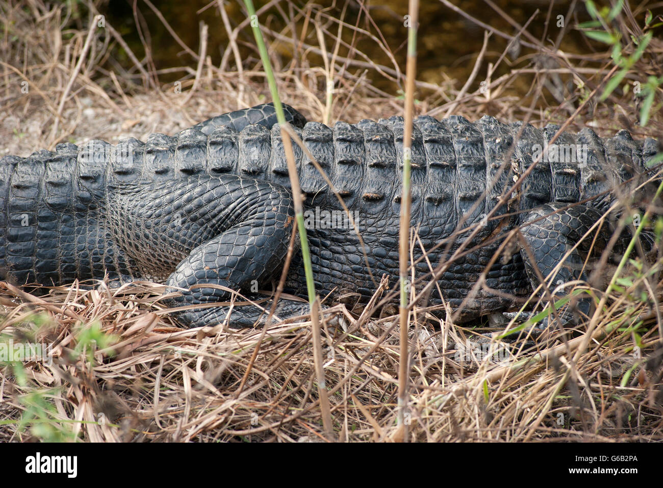 View of alligator's mid section - Stock Image