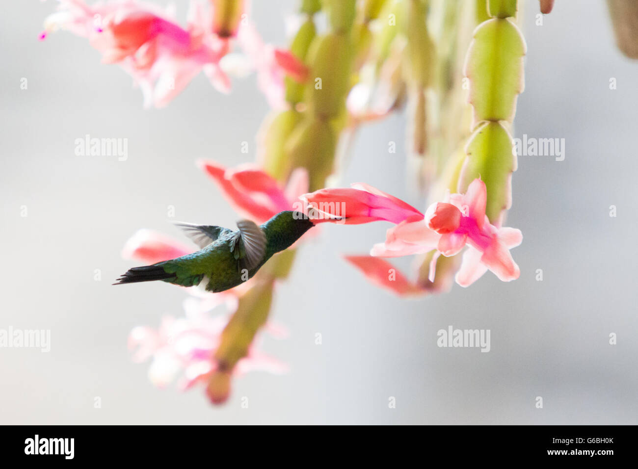 Asuncion, Paraguay. 24th June, 2016. A Glittering-bellied emerald (Chlorostilbon lucidus) hummingbird hovering in flight while feeds nectar from pink Christmas cactus (Schlumbergera truncata) flower, is seen during sunny day in Asuncion, Paraguay. Credit:  Andre M. Chang/ARDUOPRESS/Alamy Live News Stock Photo