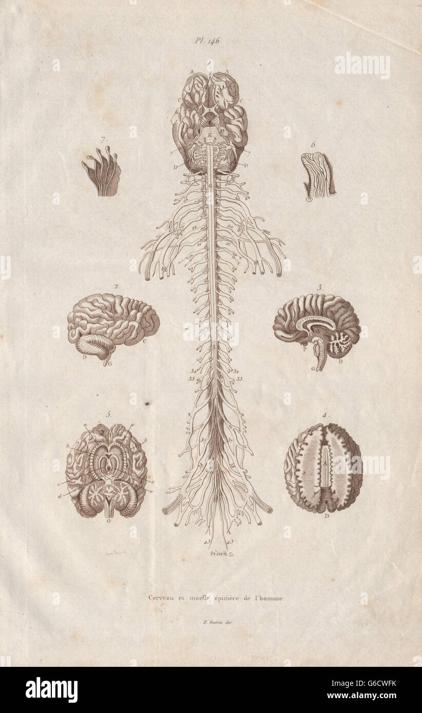ANATOMY: Human brain and spinal cord, antique print 1833 Stock Photo ...