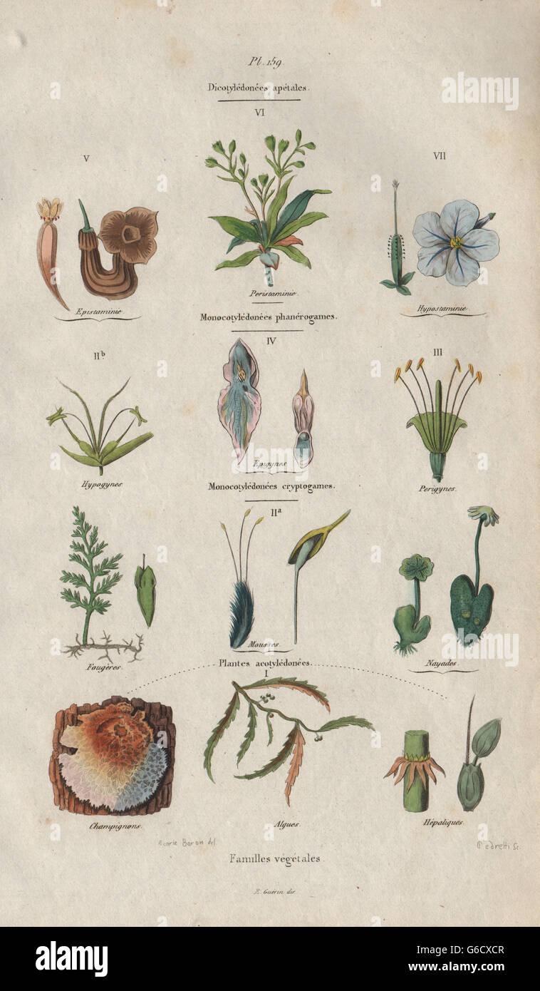 PLANT FAMILIES: Dicotyledons (Dicots). Monocotyledons (Monocots), print 1833 - Stock Image