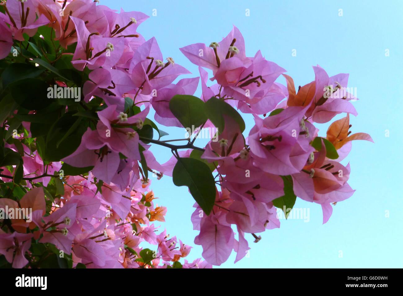Beautiful tropical flowers found across jamaica stock photos beautiful tropical flowers found across jamaica stock photos beautiful tropical flowers found across jamaica stock images alamy izmirmasajfo