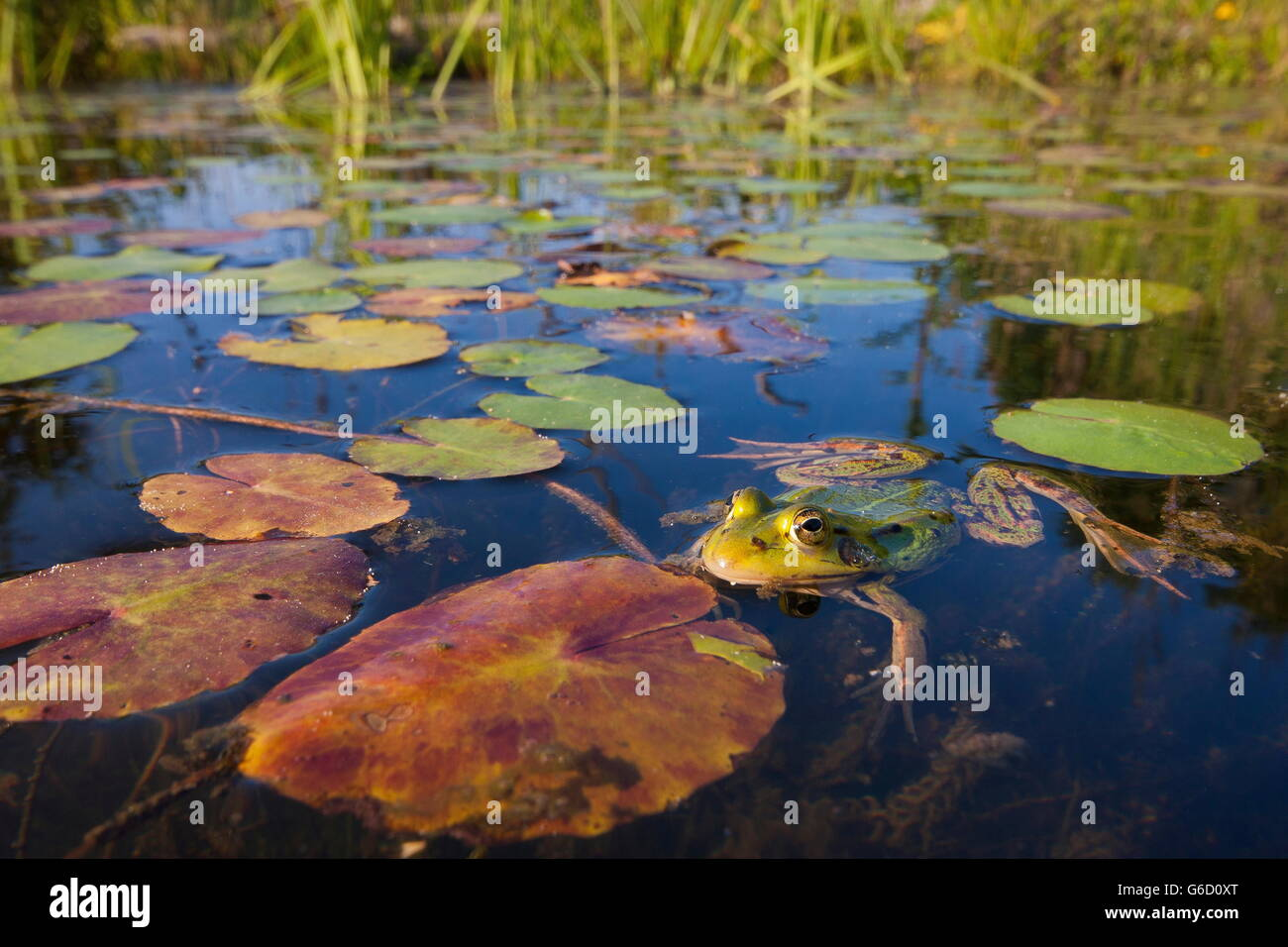 pool frog, Germany / (Pelophylax lessonae) - Stock Image