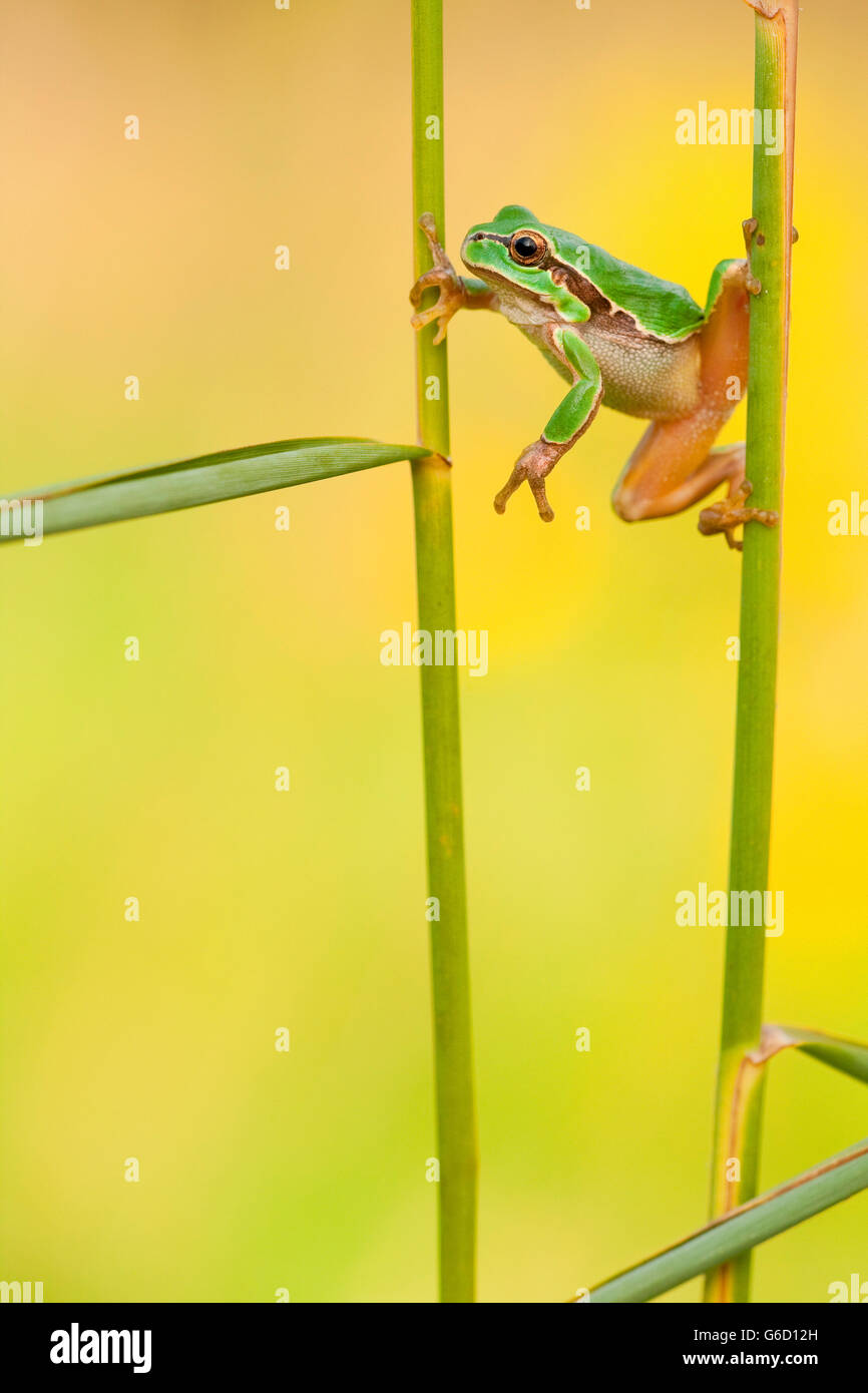 European tree frog, Germany / (Hyla arborea) Stock Photo