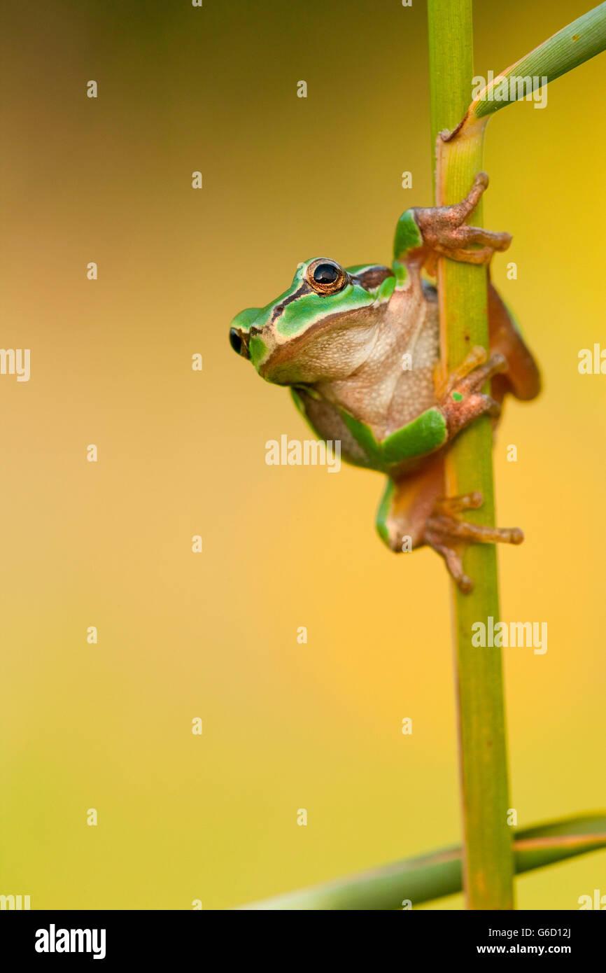 European tree frog, Germany / (Hyla arborea) Stock Photo