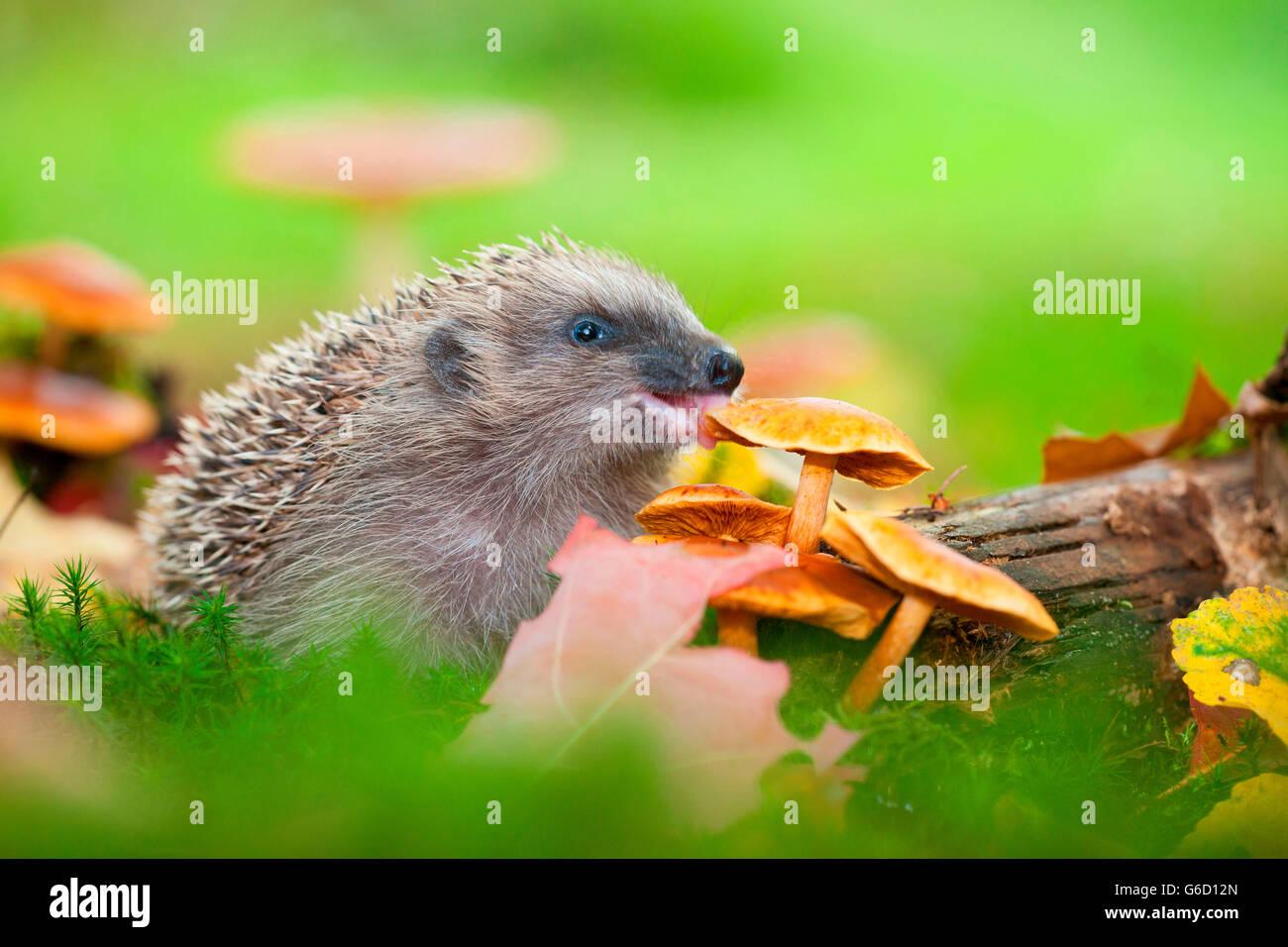 European hedgehog, nibbling mushrooms, Germany / (Erinaceus europaeus) - Stock Image