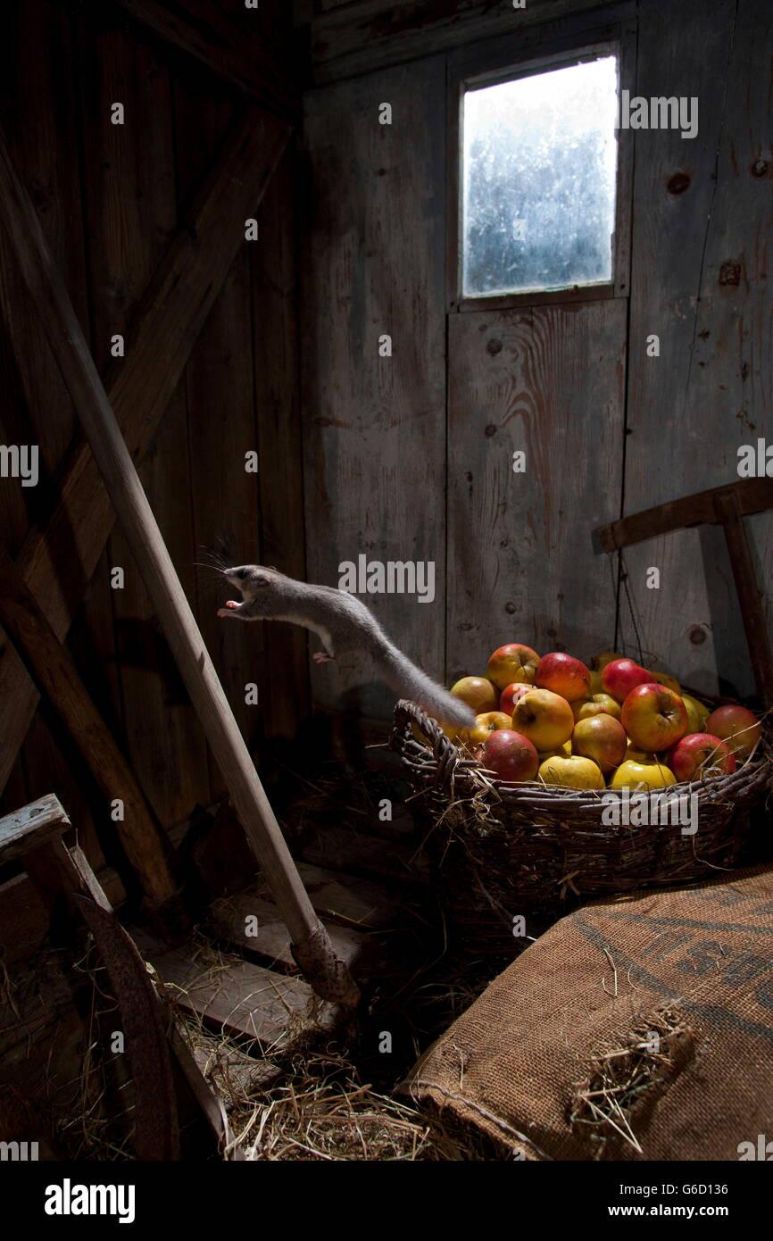 edible dormouse, moonshine / (Glis glis) - Stock Image
