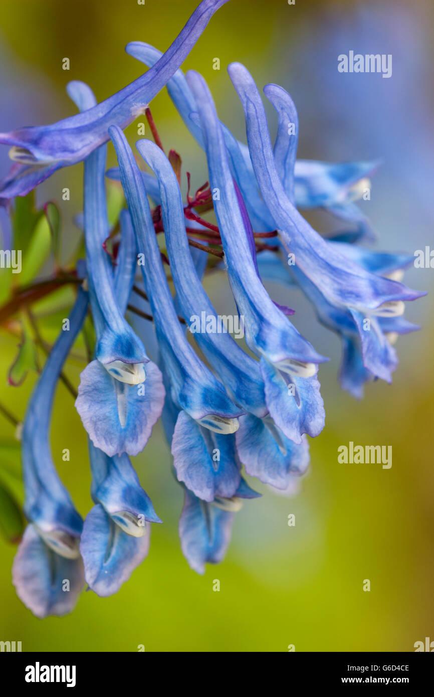 Blue flowers of the herbaceous perennial, Corydalis elata x flexuosa 'Tory MP' - Stock Image