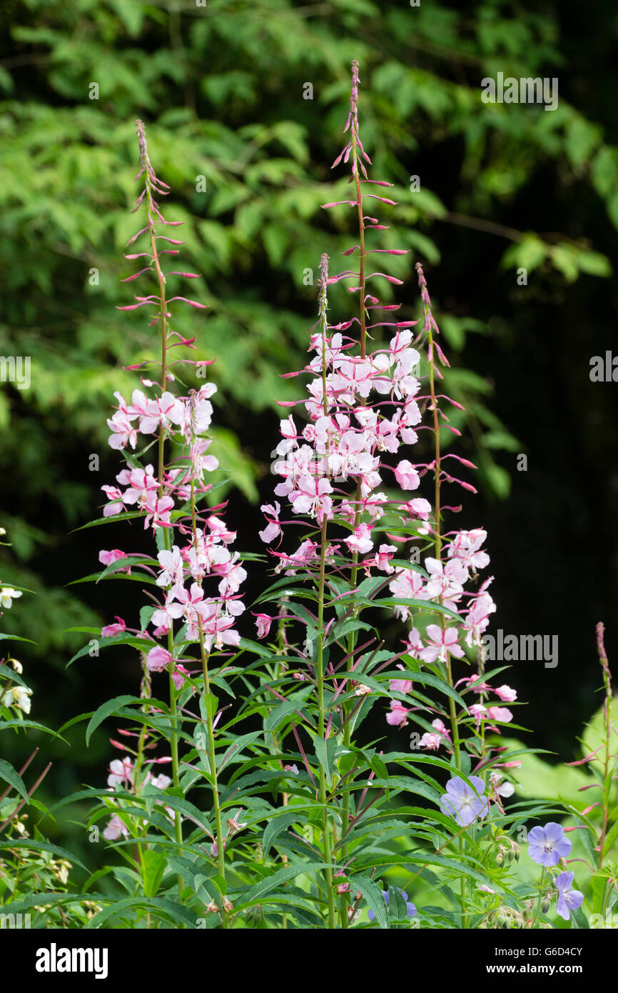 Tall flower spikes of the selected form of the Rosebay willow herb, Chamaenerion angustifolium 'Stahl Rose' Stock Photo