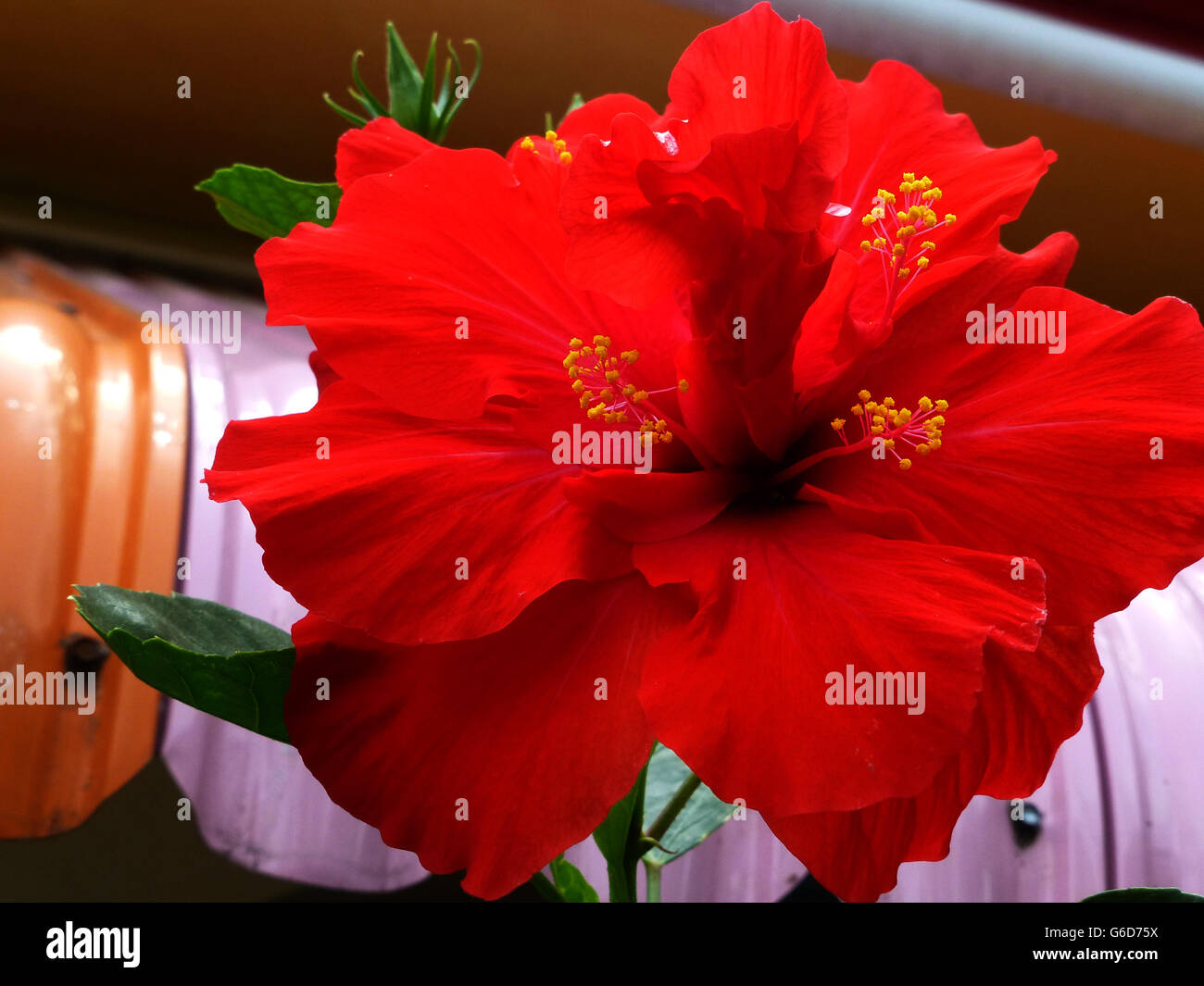 Hibiscus jamaica stock photos hibiscus jamaica stock images alamy hibiscus flower very popular in many varieties right across jamaicaobably the izmirmasajfo