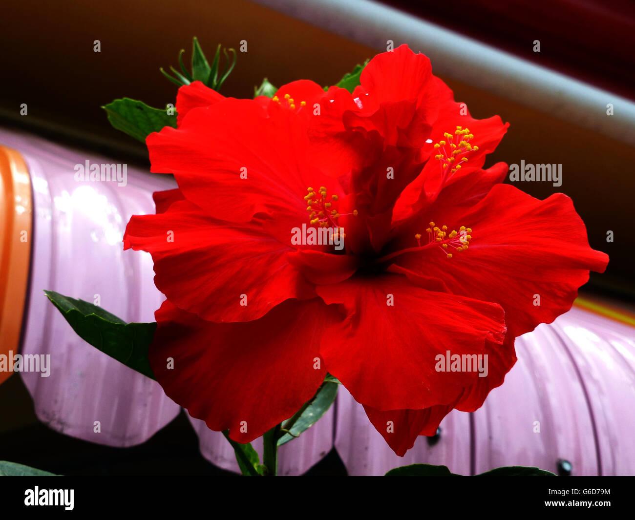 Hibiscus jamaica stock photos hibiscus jamaica stock images alamy hibiscus flower very popular in many varieties right across jamaicaobably the izmirmasajfo