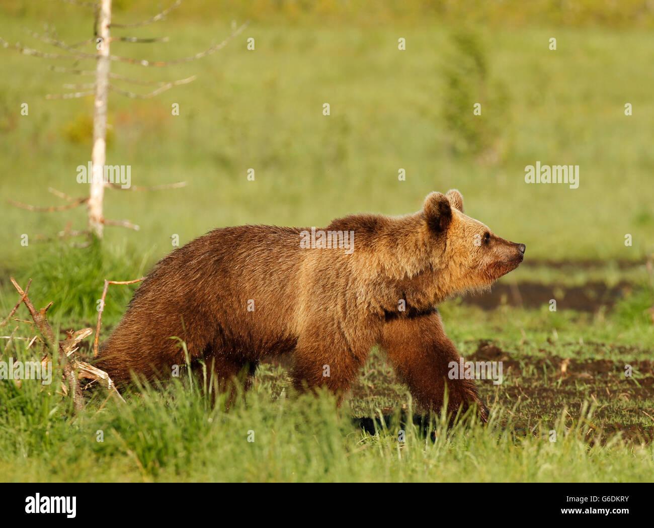 Eurasian Brown Bear (Ursus arctos arctos) in Kuusamo in Finland, near the Russian border. Stock Photo