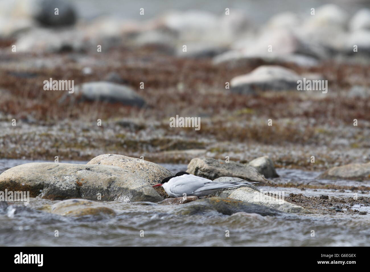 Arctic Tern grounded due to high winds and hiding behind a rock - Stock Image