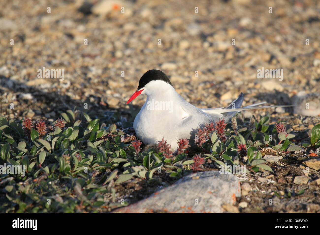Female Arctic Tern  (Sterna paradisaea) on nest with hatchling nearby - Stock Image