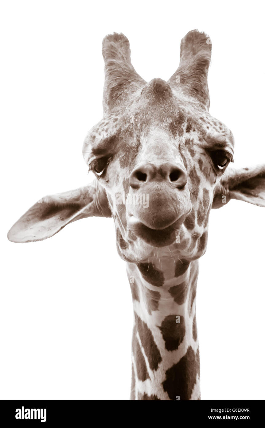 Sepia photograph of giraffe on white background - Stock Image