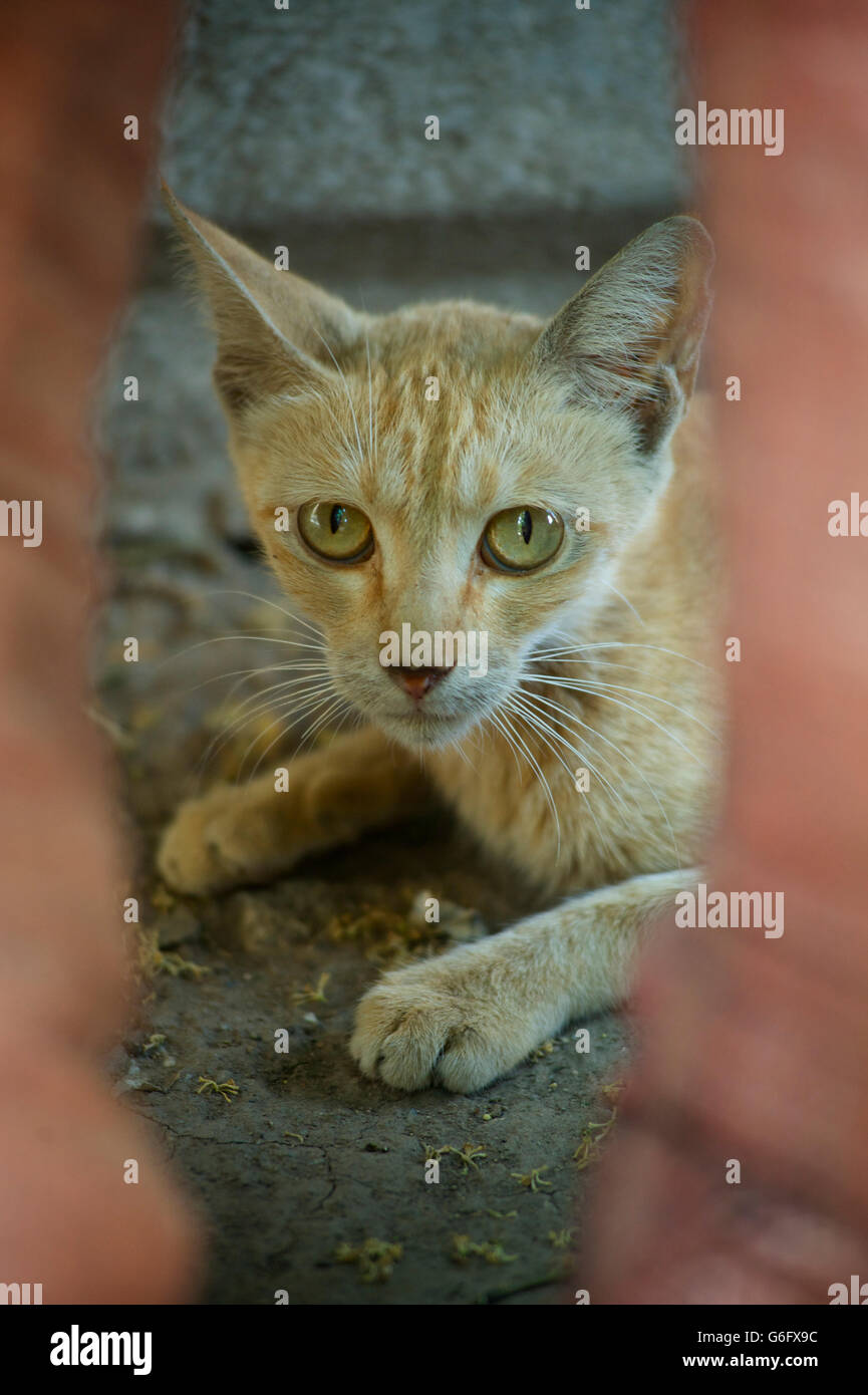 Domesticated cat peering inquisitively peering through a gap. - Stock Image