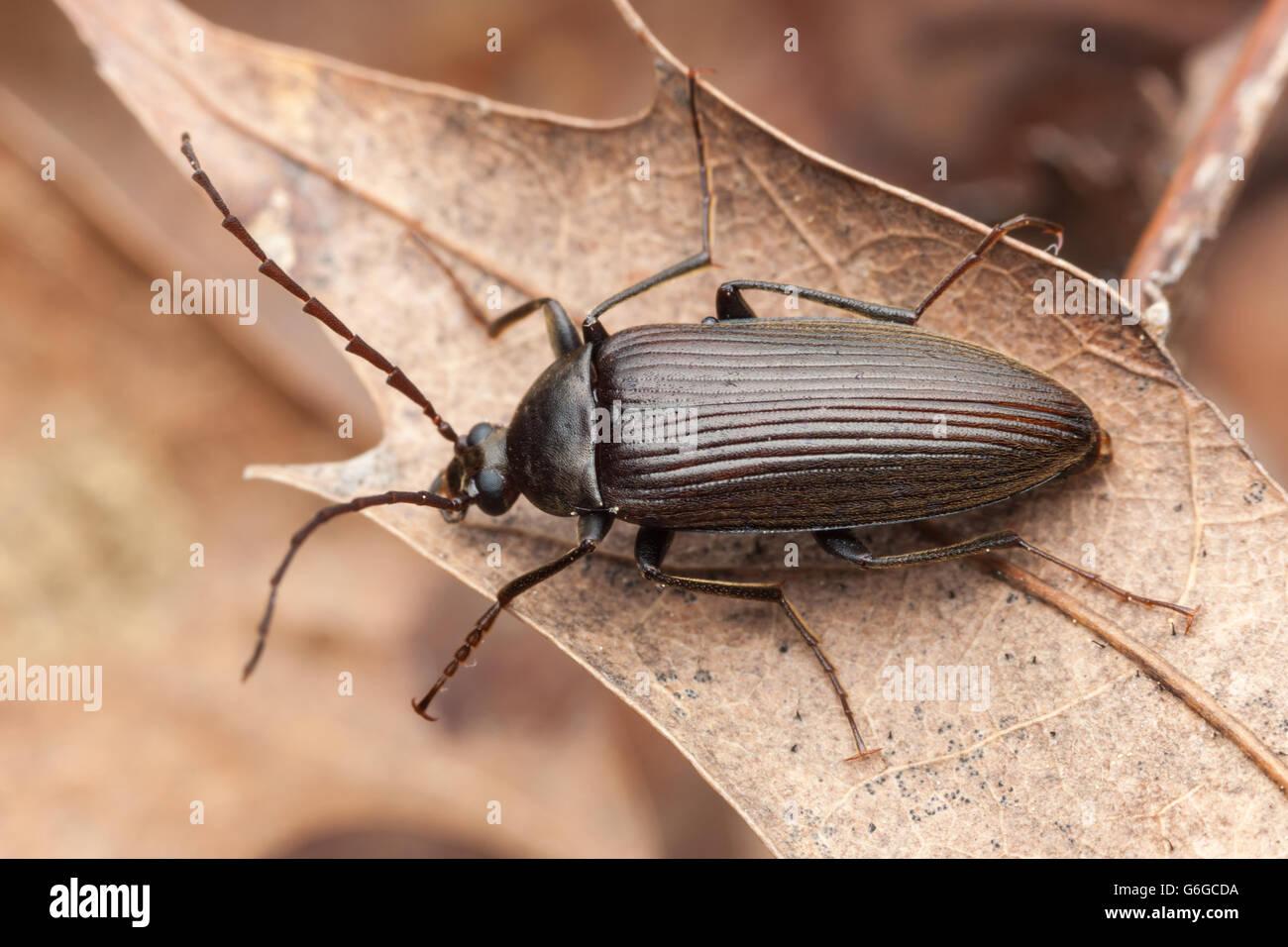 A Darkling Beetle (Capnochroa fuliginosa) perches on a dead leaf. - Stock Image
