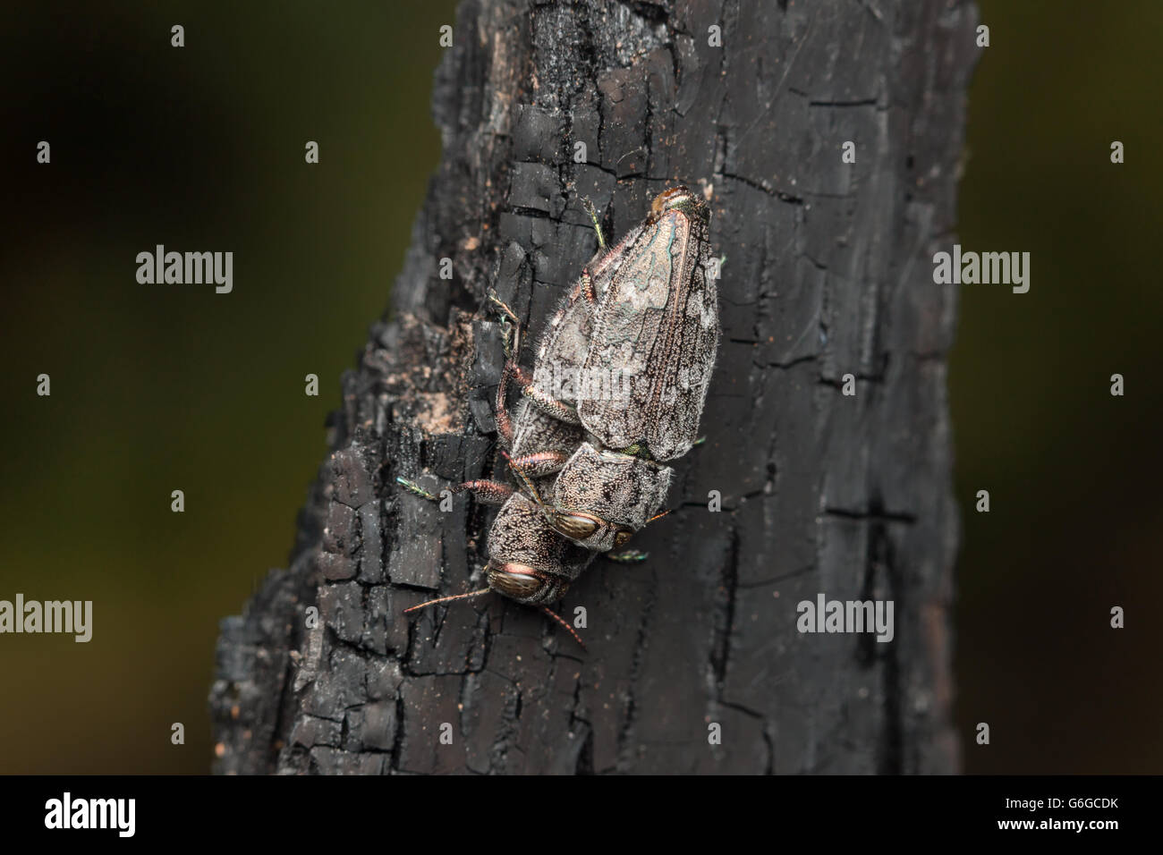 A pair of Metallic Wood-boring Beetles (Chrysobothris rugosiceps) mate on the charred remains of a burned tree. - Stock Image