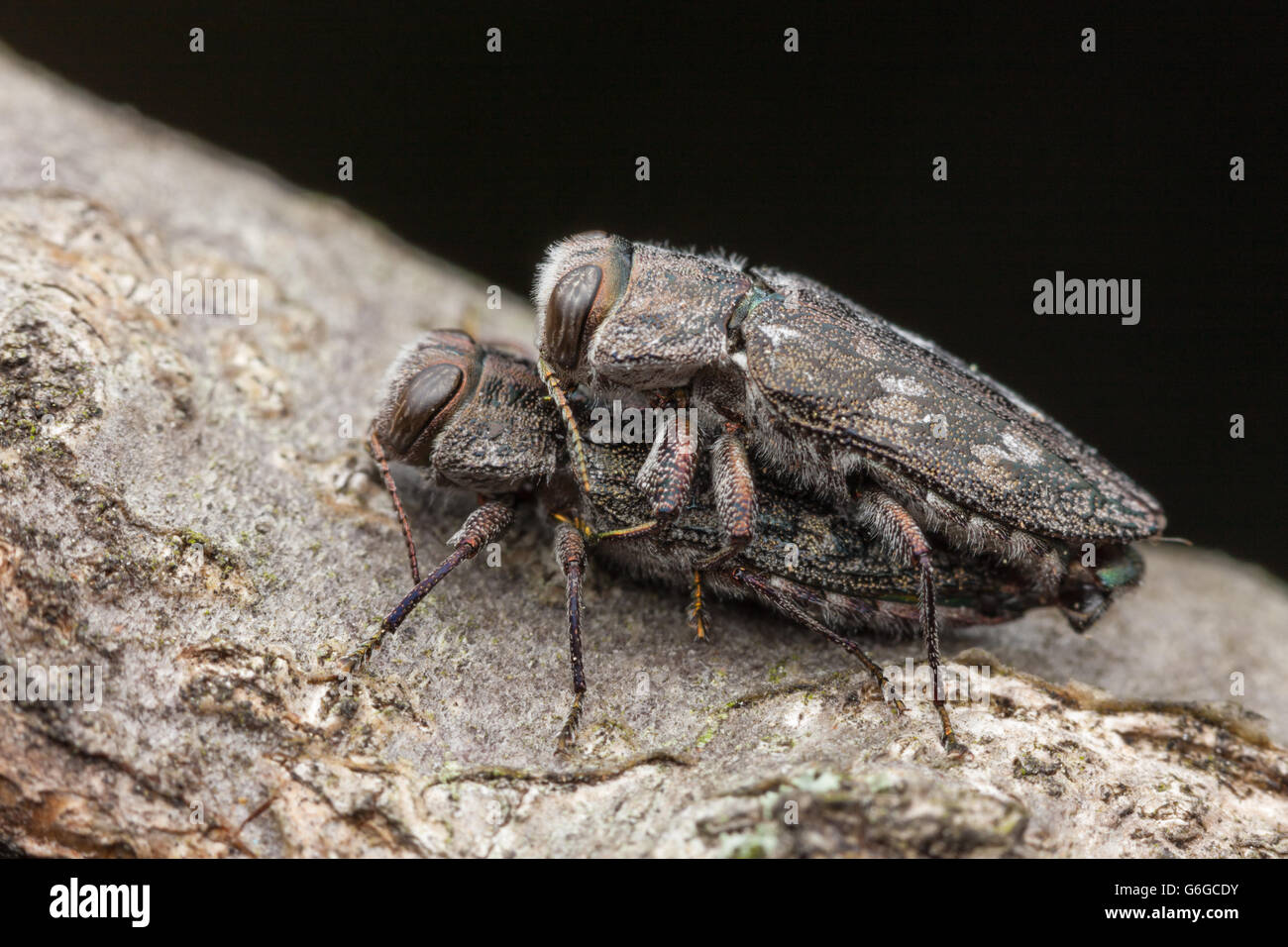 A pair of Metallic Wood-boring Beetles (Chrysobothris rugosiceps) mate on a branch of a fallen oak tree. - Stock Image