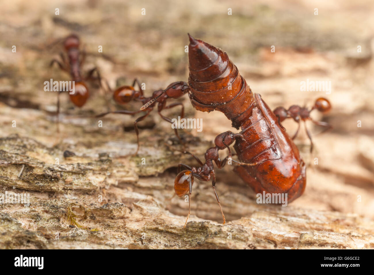 Spine-waisted Ant (Aphaenogaster tennesseensis) workers carry the remains of a moth pupa back to their nest from - Stock Image