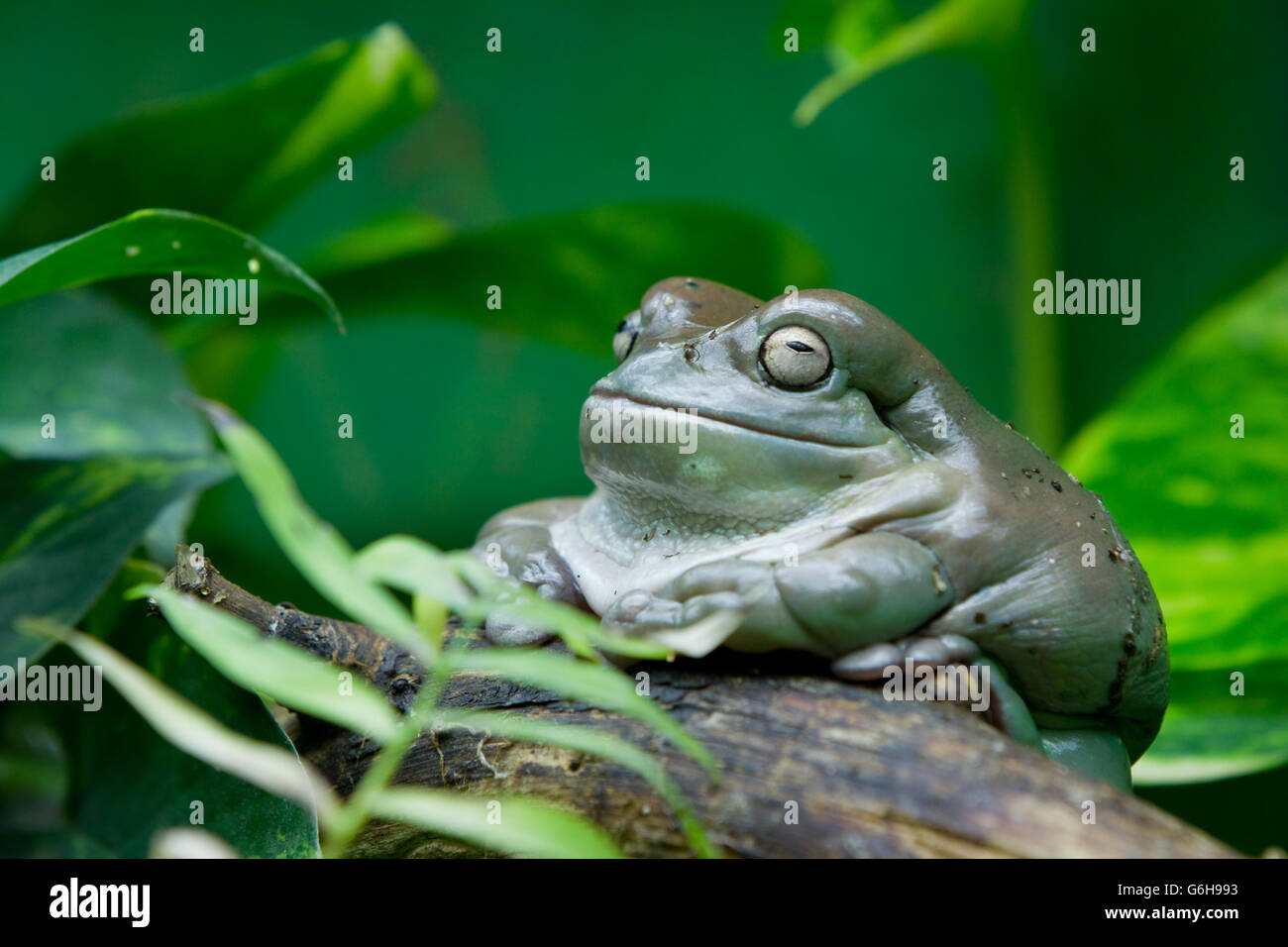 Makifrosch, Makifrog - Stock Image