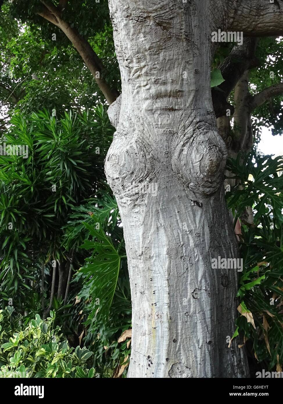 Knotty Tree in a Female Form - Stock Image