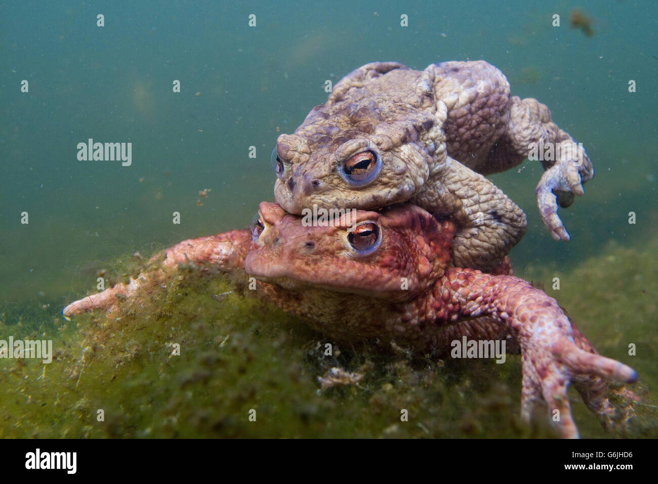 common toad, pairing, underwater, Germany / (Bufo bufo) - Stock Image