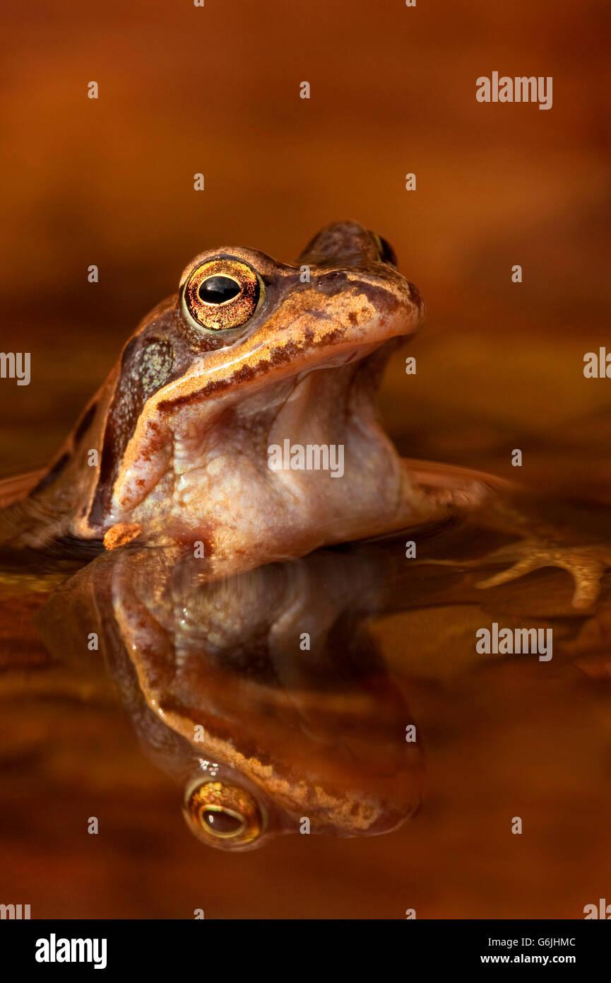 common frog, Germany / (Rana temporaria) - Stock Image
