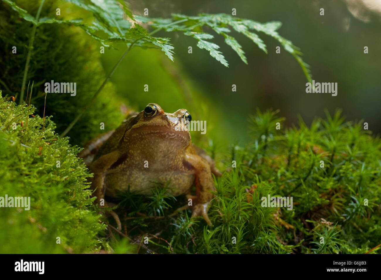 common frog, Germany / (Rana temporaria) - Stock Image