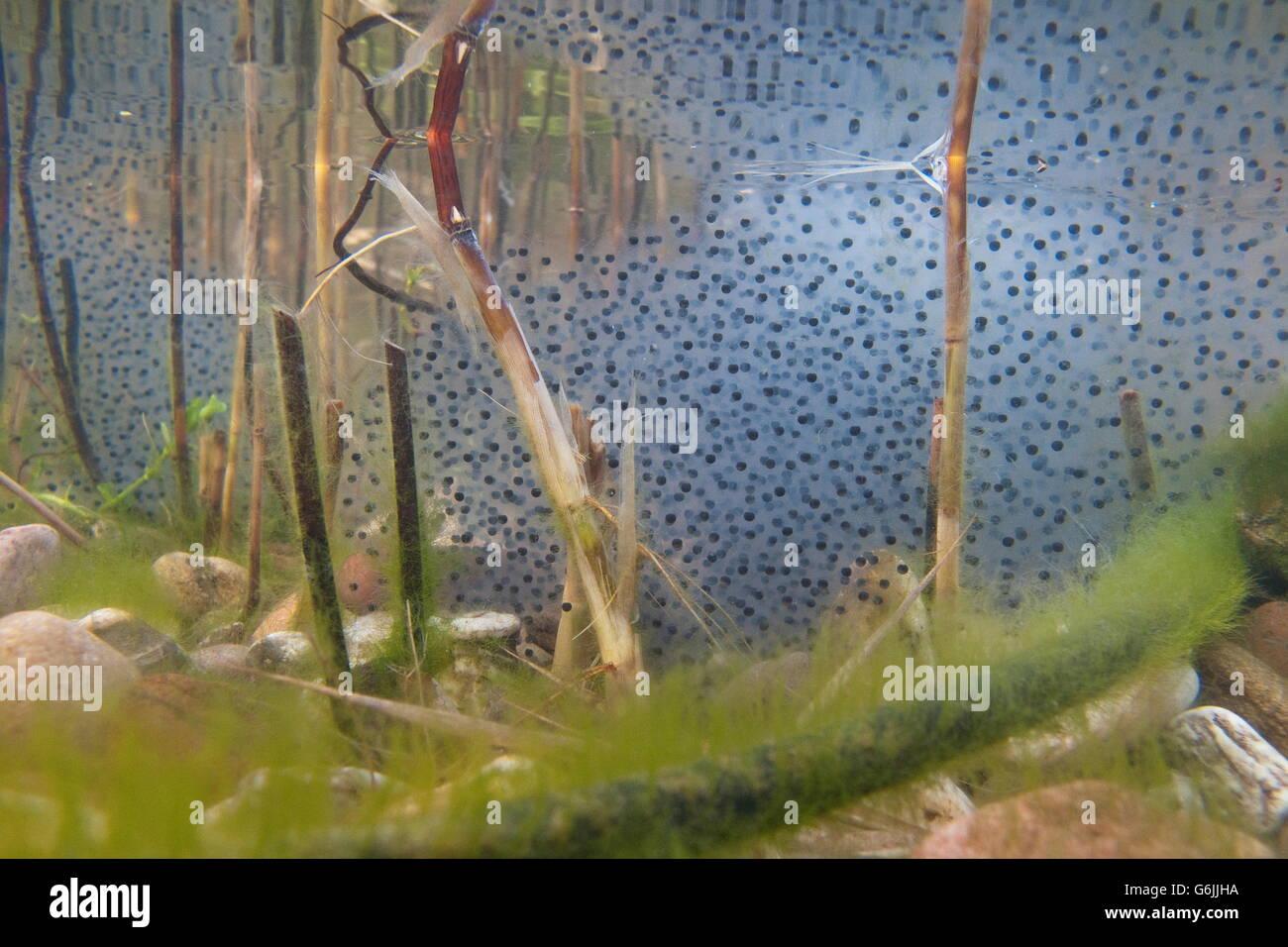 common frog, spawn, Germany / (Rana temporaria) - Stock Image