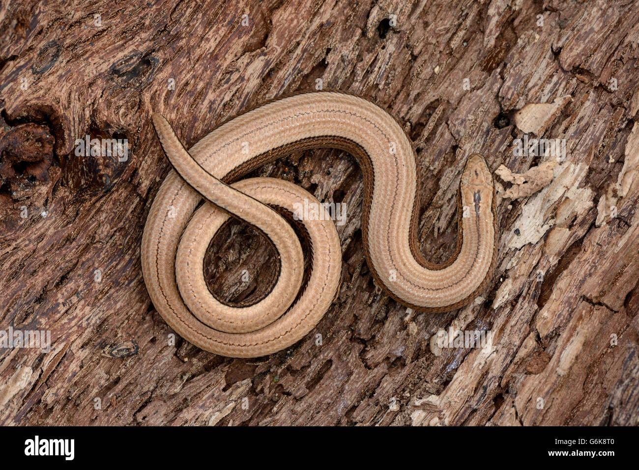 Blindworm on bark Stock Photo