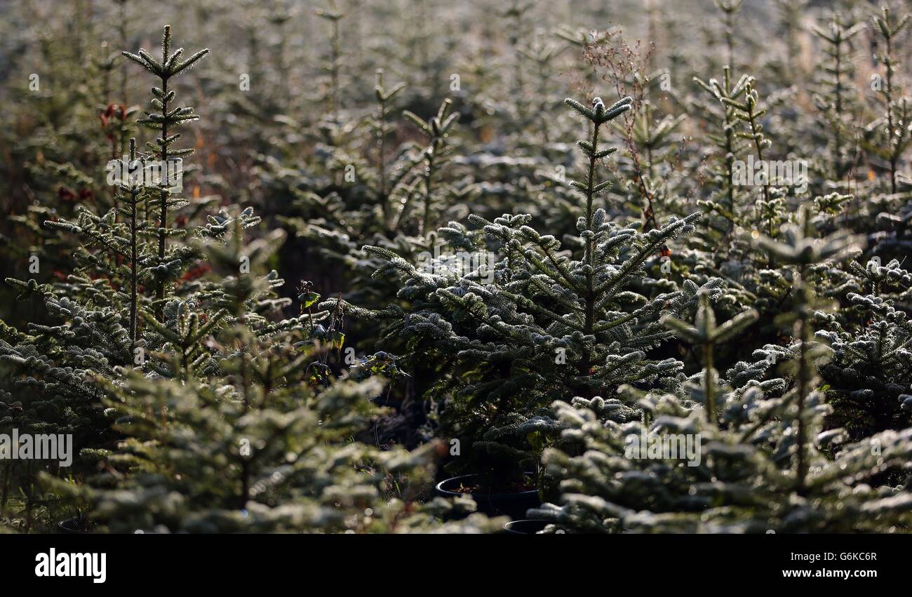 At Ivy Cottage Tree Farm In Wilmslow High Resolution Stock Photography And Images Alamy
