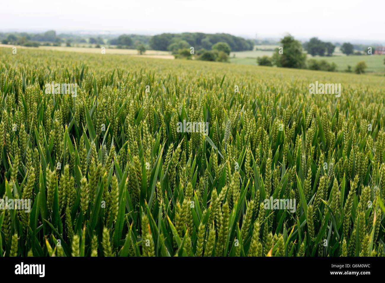 Field of unripe wheat, Warwickshire, UK - Stock Image