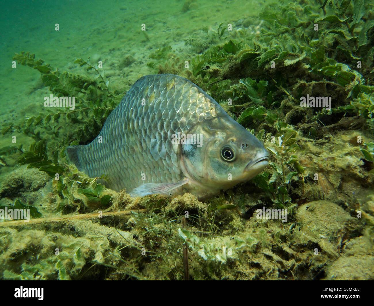 Prussian carp / (Carassius auratus gibelio) Stock Photo
