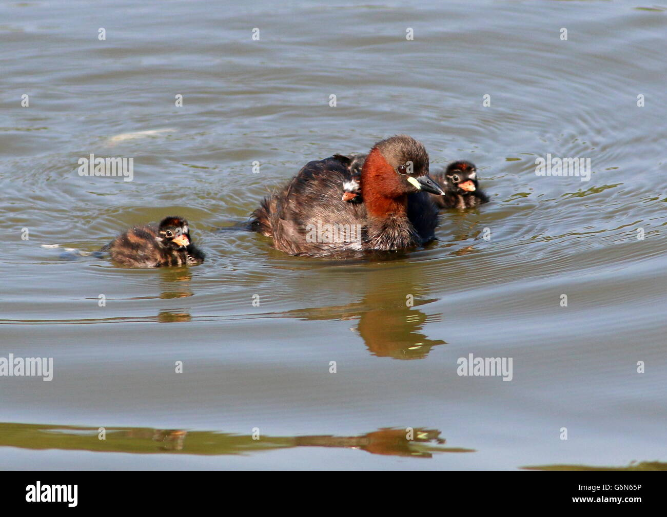Mature Eurasian Little Grebe (Tachybaptus ruficollis) with two young chicks swimming next to her, another baby riding - Stock Image