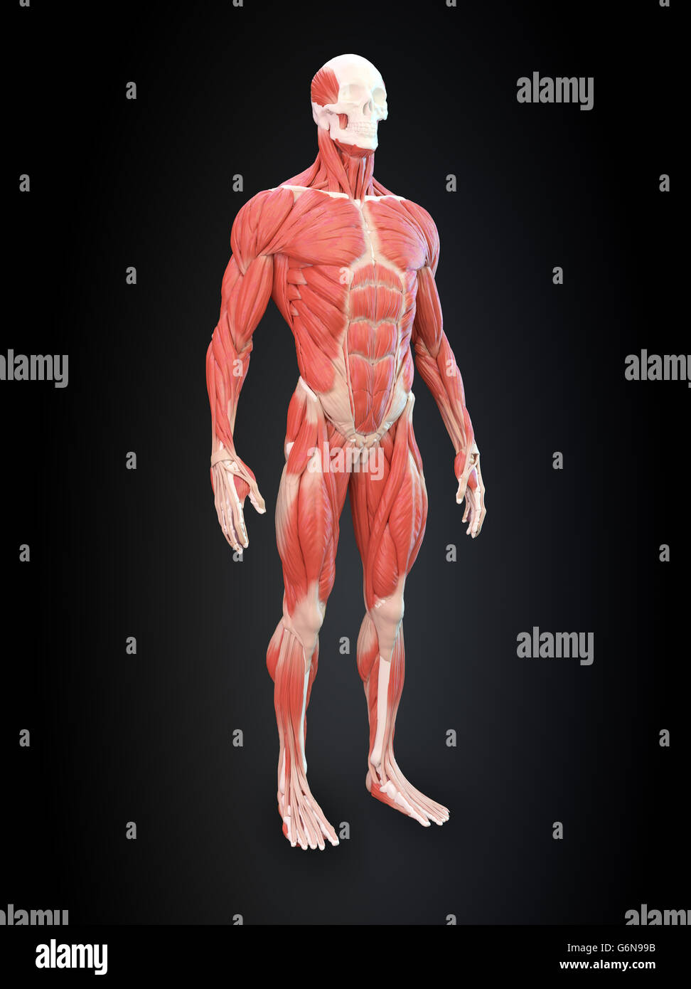 Detailed Muscle Human Anatomy Illustration Stock Photo 107418455