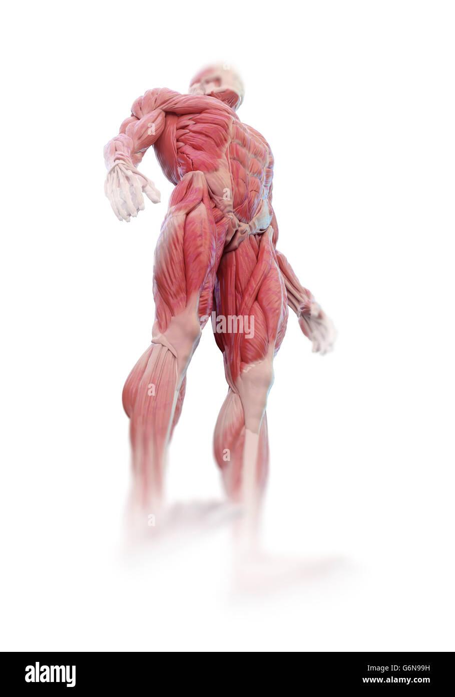 Detailed muscle human anatomy illustration - Stock Image
