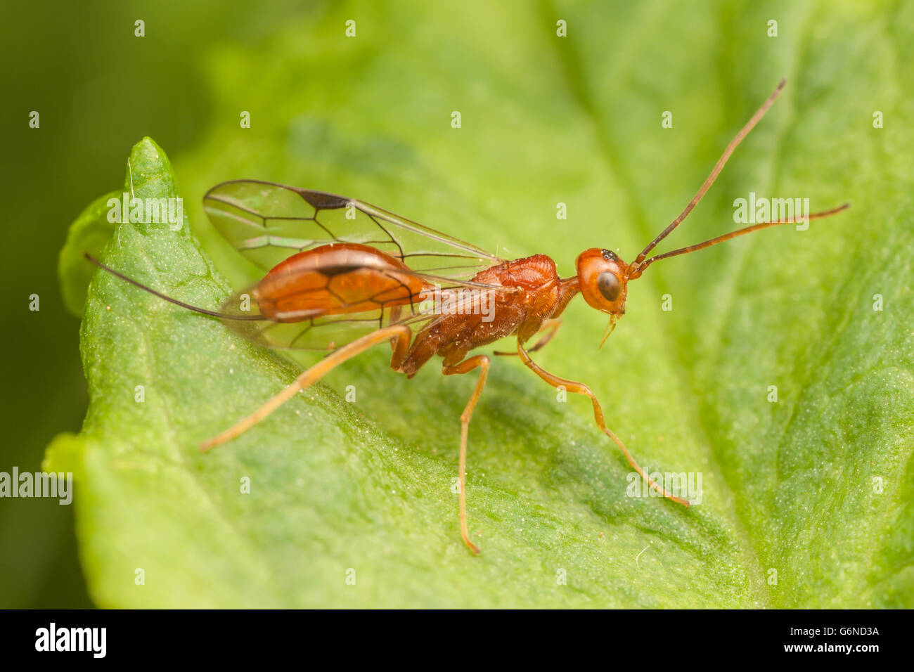 A female Aulacid Wasp (Aulacus burquei) perches on a leaf. - Stock Image