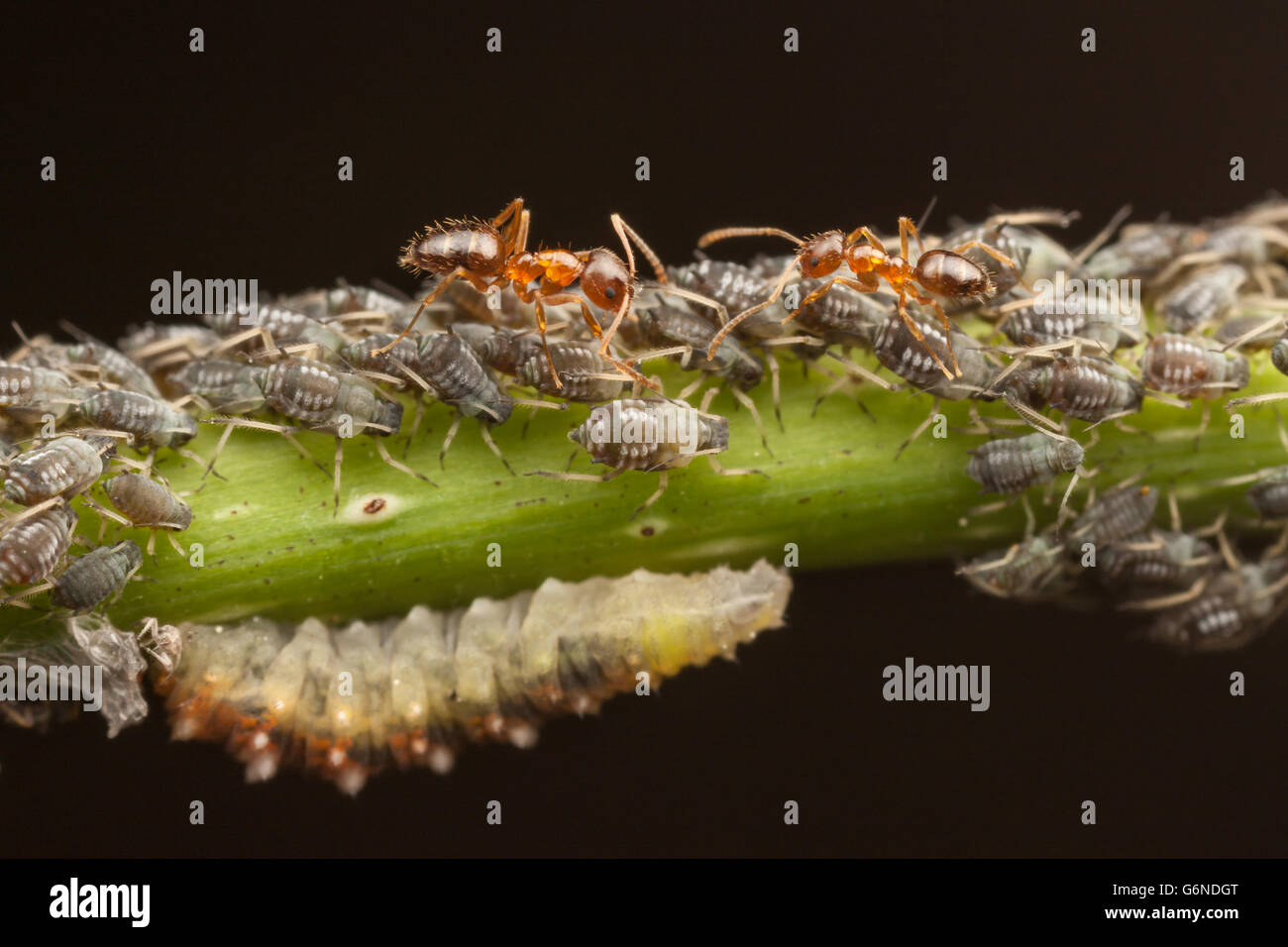 Crazy Ants (Nylanderia flavipes) tend aphids (Aphis sp.) for their honeydew while a syrphid fly larva feeds on the - Stock Image