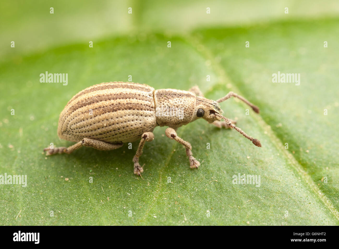 A Broad-nosed Weevil (Aphrastus taeniatus) perches on a leaf. - Stock Image