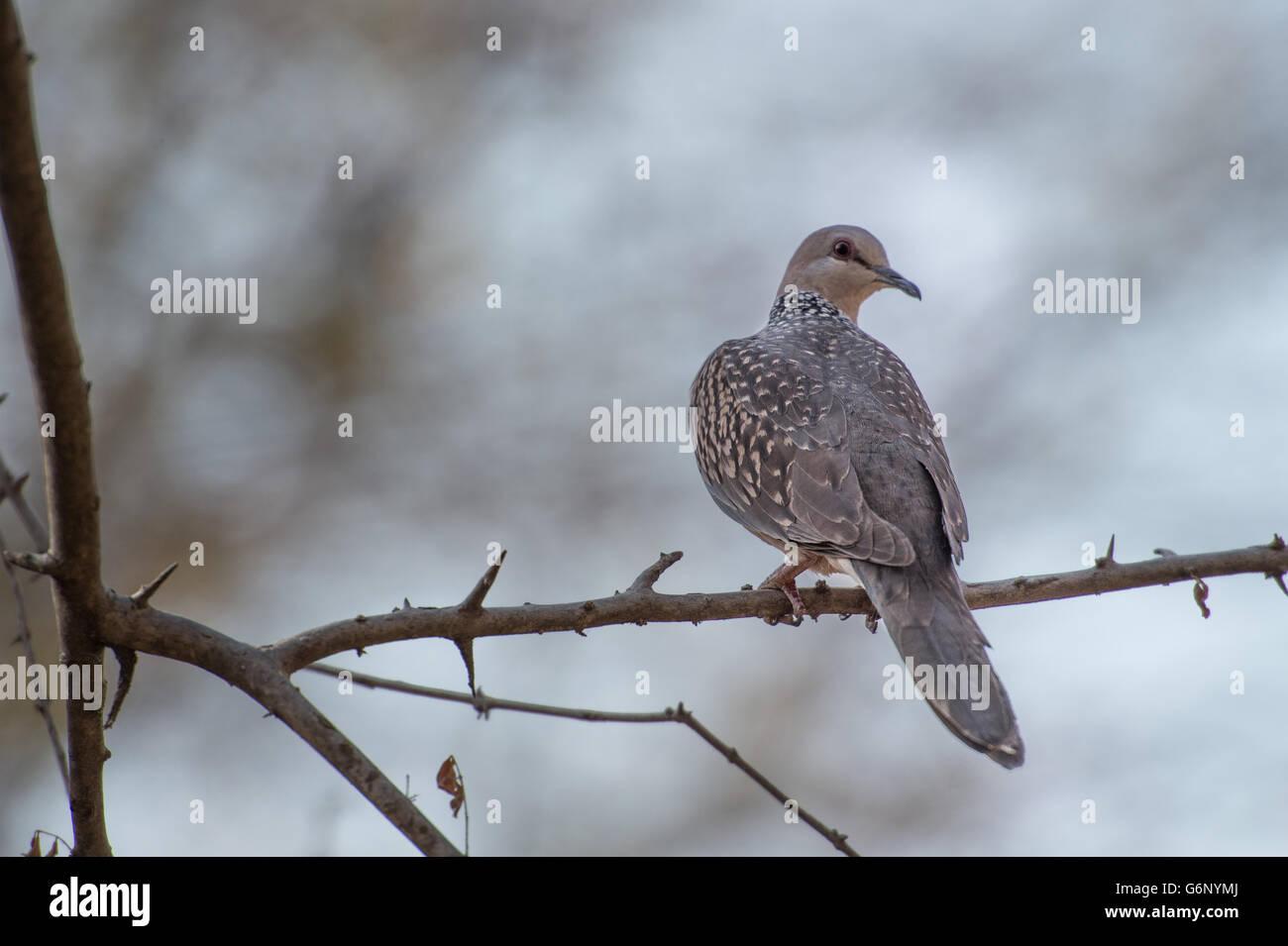 Spotted Dove, Spilopelia chinensis, Columbidae, Ranthambore National Park, India, Asia - Stock Image