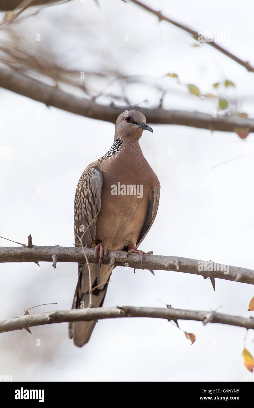 Spotted Dove, Spilopelia chinensis, Columbidae , Ranthambore National Park, India, Asia - Stock Image