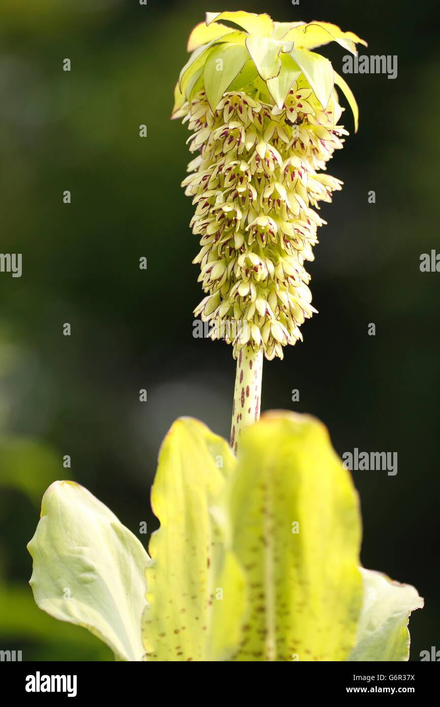 Bicoloured Pineapple Lily / (Eucomis bicolor) Stock Photo